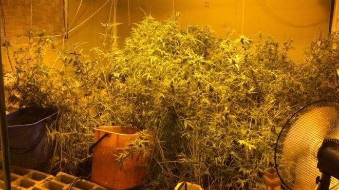 Una serra di cannabis