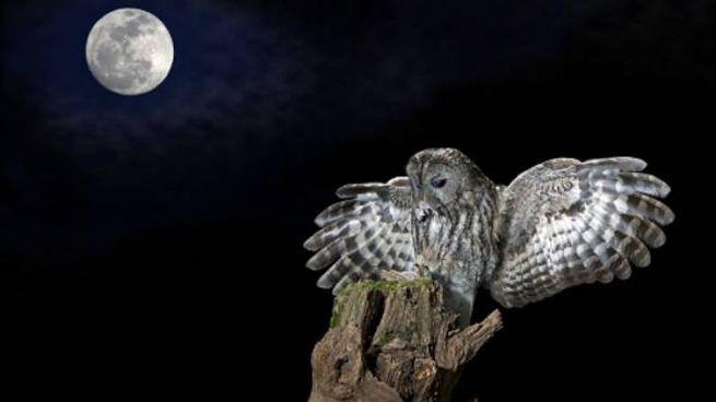 Gufi in notturna