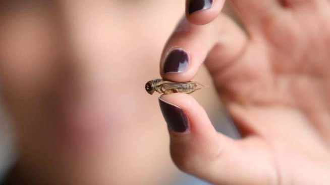 Un insetto commestibile (Ansa)