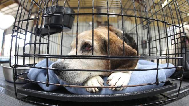 Beagle in una foto Ansa