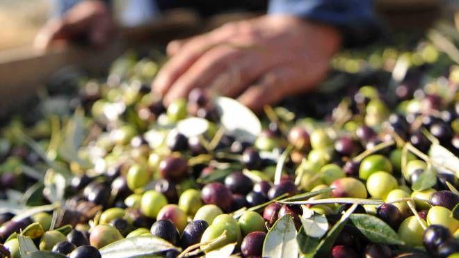 La raccolta delle olive (Fornasari)