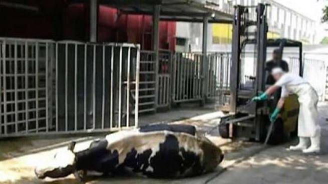 Un'immagine del fascicolo aperto in Procura  a Brescia a sostegno della denuncia: una mucca sfinita e a terra viene trascinata con un muletto all'interno del macello
