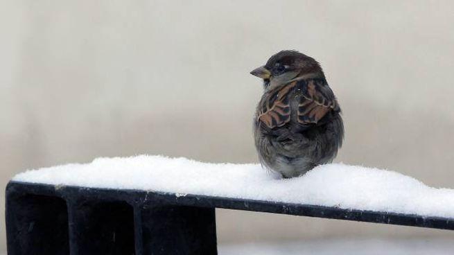 Uccellino nella neve in una foto Ansa