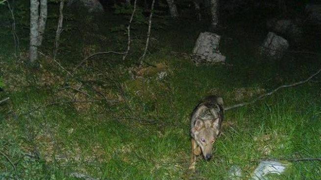 Uno dei lupi avvistati sulle Apuane (foto tratta dal profilo Facebook di Paola Fazzi, tecnico del Parco)