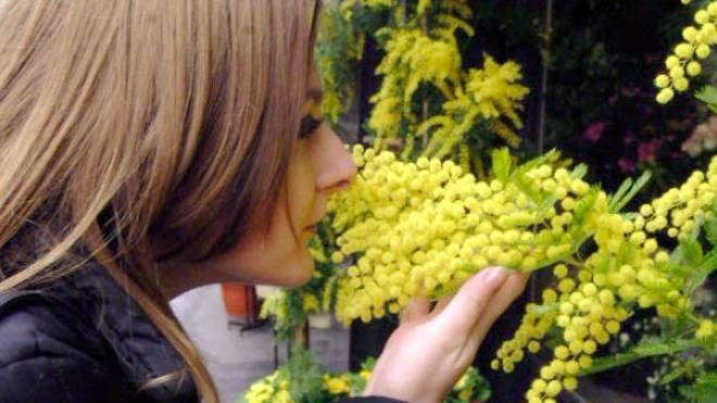 8 marzo, festa delle donne: una ragazza annusa un mazzetto di mimosa (Newpress)