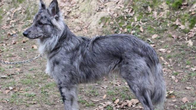 Un cane da pastore delle Alpi Apuane