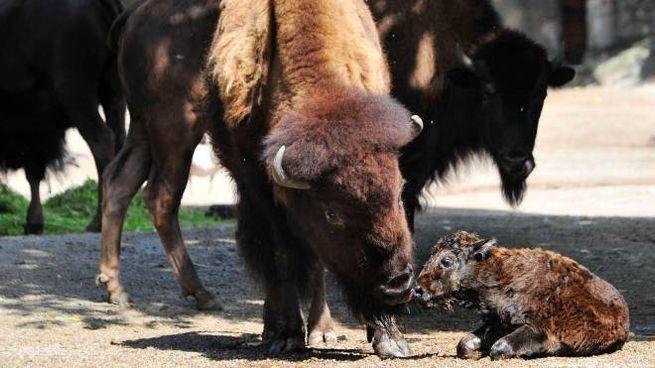 Bisonte cucciolo con la mamma (Olycom)