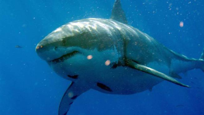 Un esemplare di squalo bianco nelle acque del Messico (Foto: Olycom)