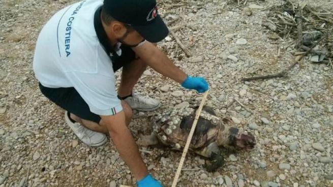 Una delle tartarughe rinvenute sulla spiaggia