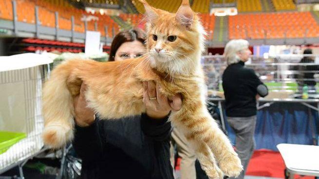 Scatti Felini Meravigliosi Gatti In Mostra Foto Cronaca