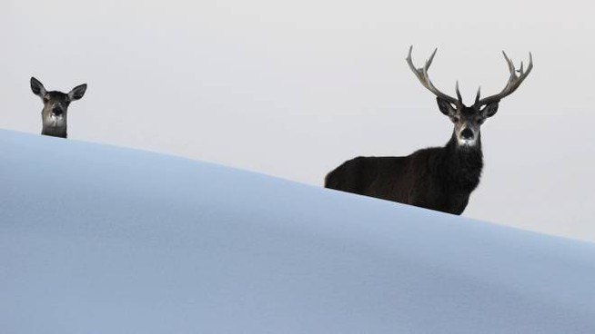 Cervi nella neve in una foto di repertorio (Ansa)
