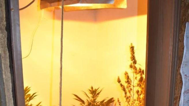 Serra, lampade, filtri: coltiva la droga tra la cucina e il tinello ...