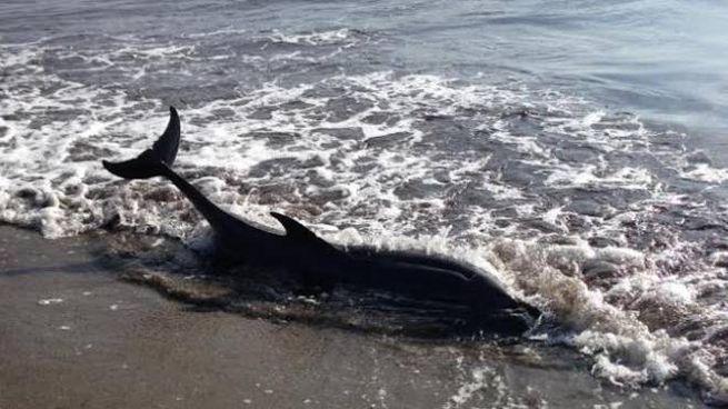 Delfini spiaggiati in Toscana