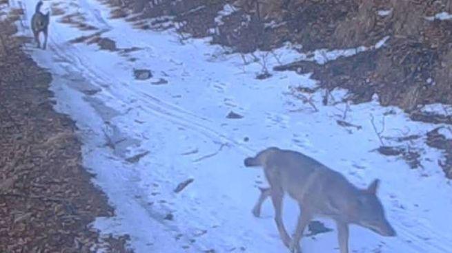 Due lupi ripresi dalle webcam installate dal Parco delle Apuane