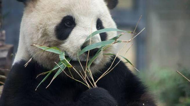 Un panda che mangia bambù (Foto: Chris Willson/Alamy)