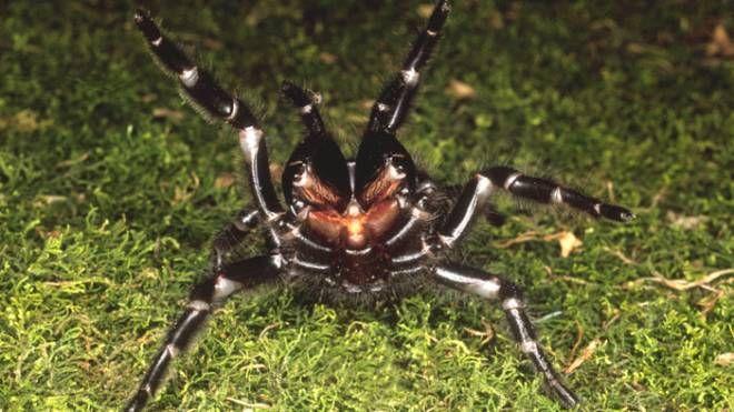 Un esemplare di ragno dei cunicoli (Foto: cbstockfoto / Alamy)