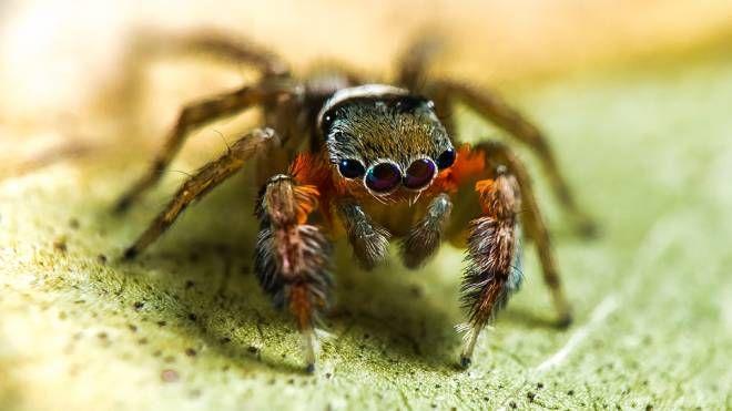 Una nuova specie di ragno saltatore (Foto: R. Whyte)