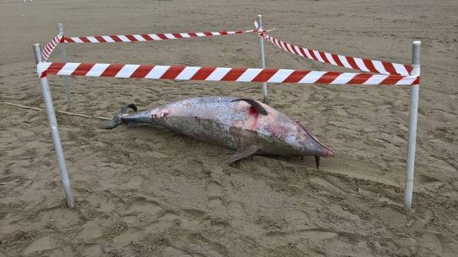Il delfino trovato sulla spiaggia a Marina di Pietrasanta