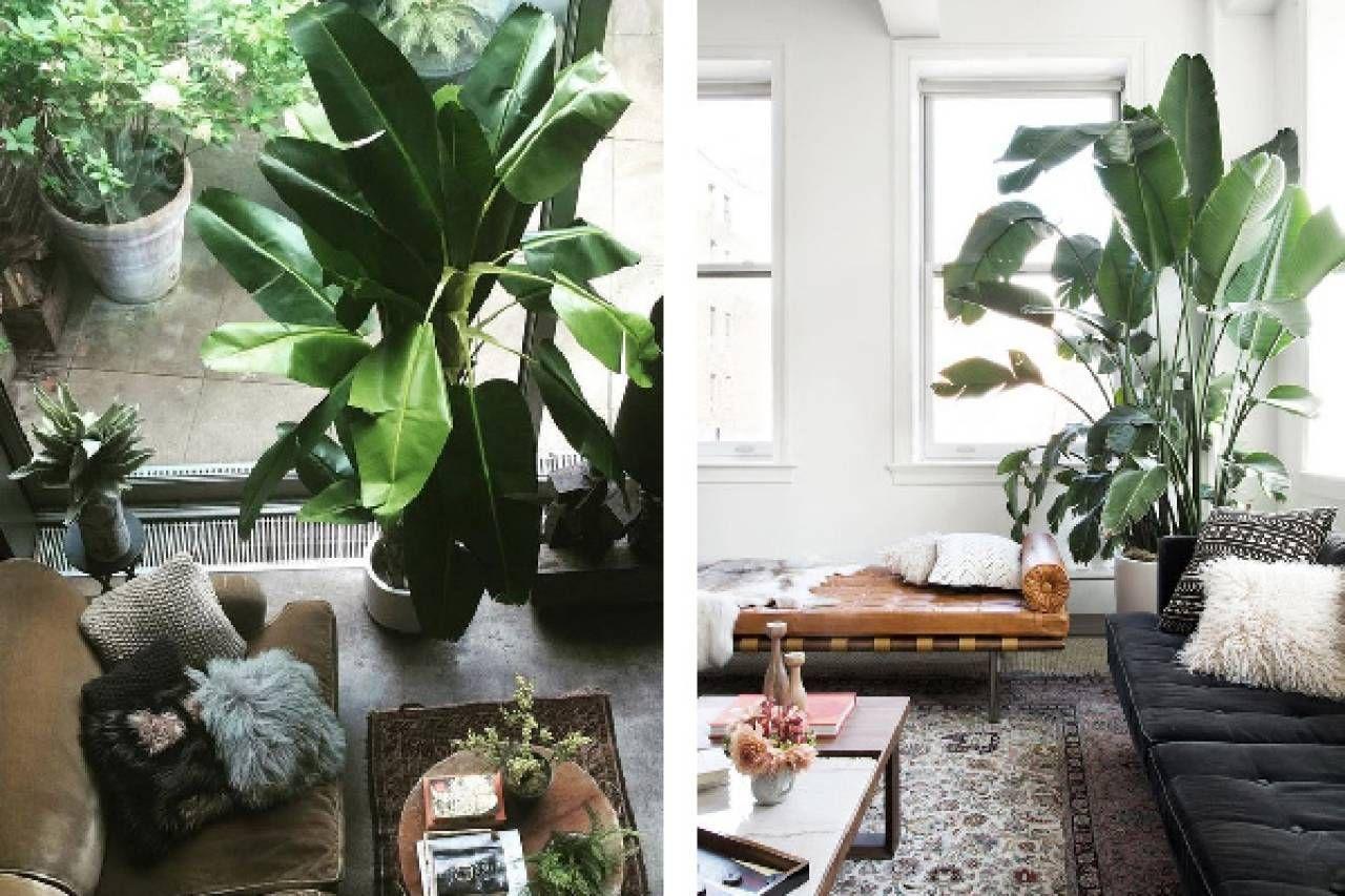 Pianta Di Banana Foto pianta di banano? meglio coltivarla indoor - tempo libero