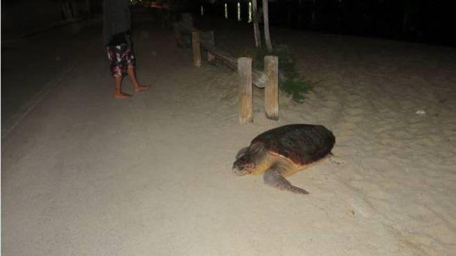 La tartaruga Federica: il grosso esemplare si è spinto fino in strada