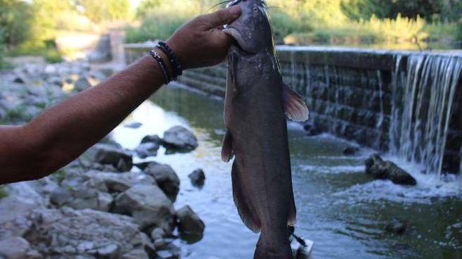 Pesaro è Il Pesce Gatto Il Mostro Del Foglia Cronaca
