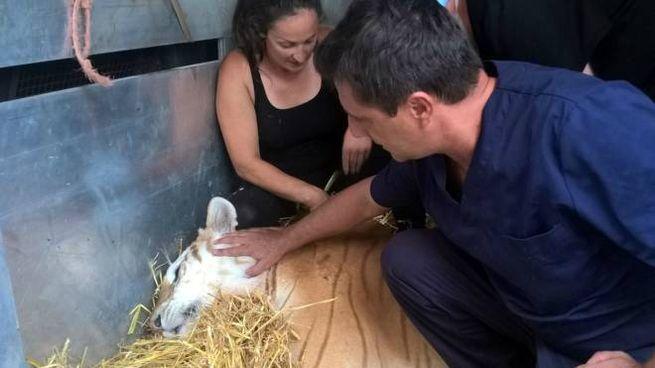 L'animale accudito dai veterinari a Nuova Olonio dopo l'operazione