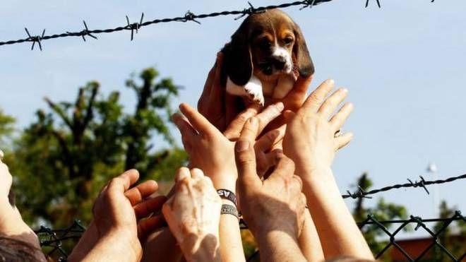 Uno dei beagle liberati da Green Hill