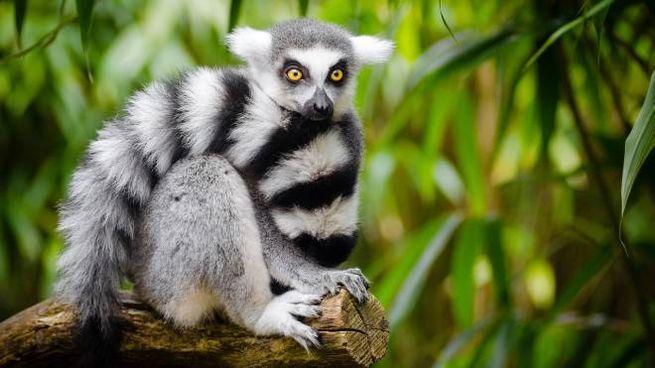 Un esemplare di lemure catta (Foto: Pexels/Pixabay)