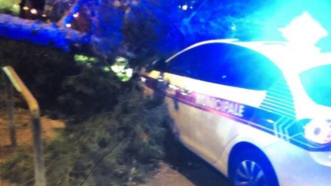 Il pino crollato sull'albero dei vigili (foto Novi)