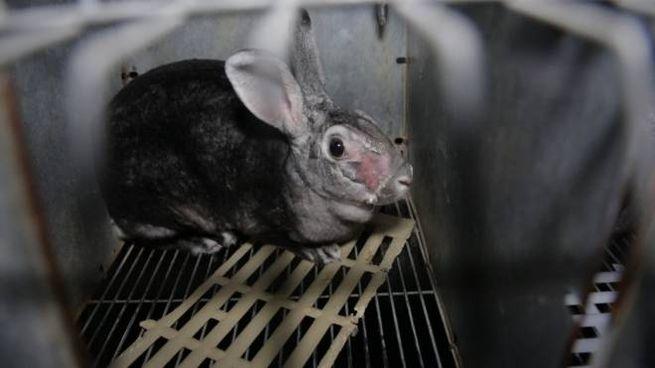 Uno dei conigli di allevamento per pellicce