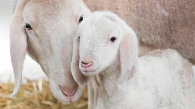 Marcellino, l'agnellino nato a Fico