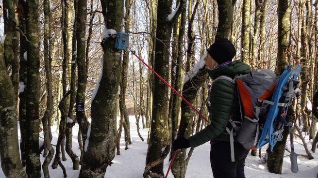 Escursionista di Mangia trekking controlla una trappola fotografica in Lunigiana