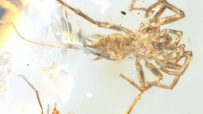 Un ragno con la coda conservato nell'ambra (Foto: Bo Wang)