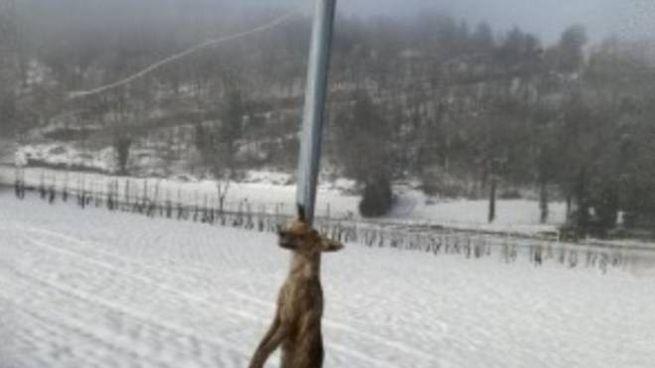 La volpe uccisa
