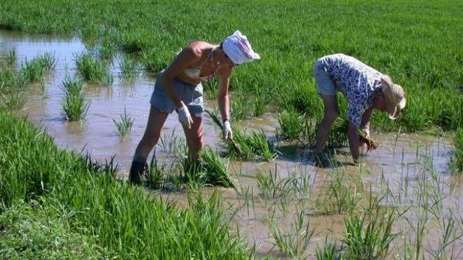 Lavoro in risaia