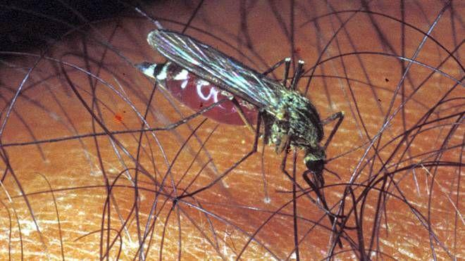 Il virus è trasmesso agli esseri umani dalle punture di zanzare che hanno, a loro volta, punto una persona infetta