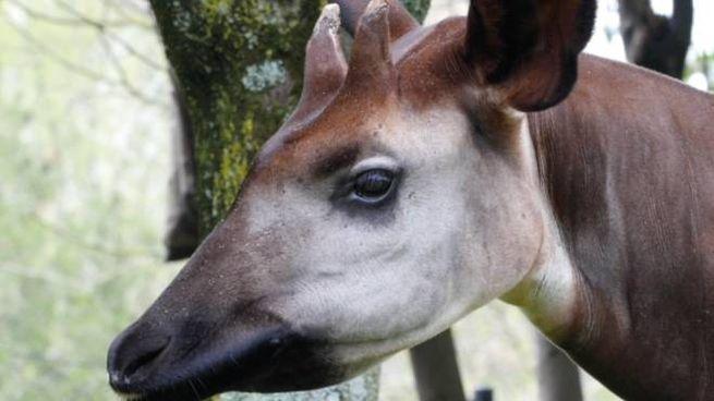 Gli okapi sono una specie in via di estinzione