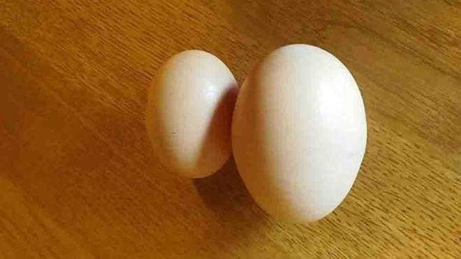 L'uovo della gallina Gilda accanto a uno 'standard'