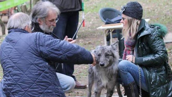 Il Cane Delle Alpi Apuane è Razza Autonoma Con Dna E Pedigree