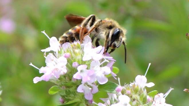 La Slovenia è la capitale europea dell'apiturismo - Foto: Socha/iStock