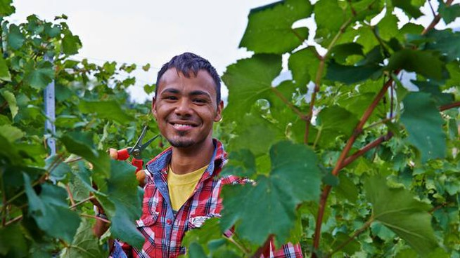 Berlucchi: uva raccolta da stranieri «Non esiste manodopera italiana»