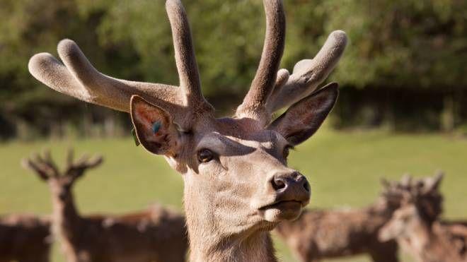 Le corna del cervo, utilizzate come ingrediente di una birra- Foto: Photoimagesnz/iStock