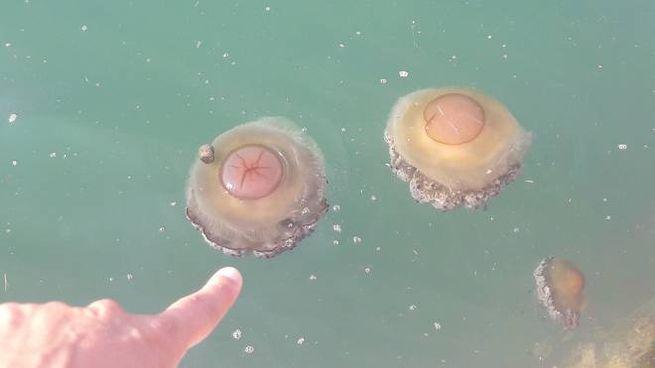 Le meduse ieri nelle acque del porto antico e l'alga tossica al Passetto (Foto Antic)