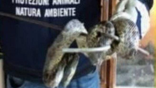 L'anaconda giallo trovato in casa dell'uomo