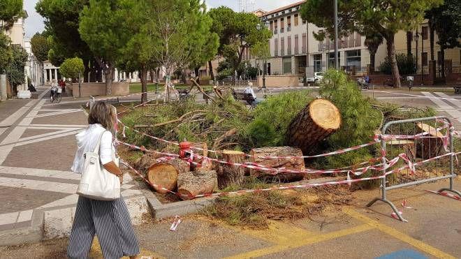 Il pino caduto in piazza XX Settembre  (Foto Donzelli)