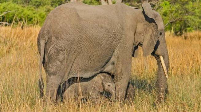 Boswana, strage di elefanti: trovate 87 carcasse