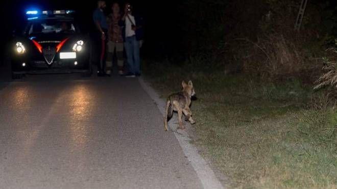 Cuccioli di lupo in strada
