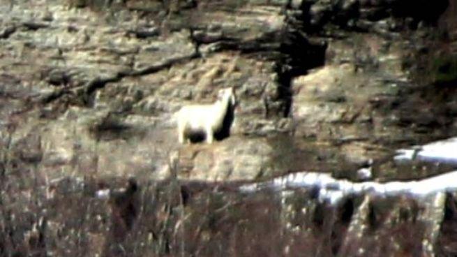 Una foto scattata lo scorso inverno alla capra