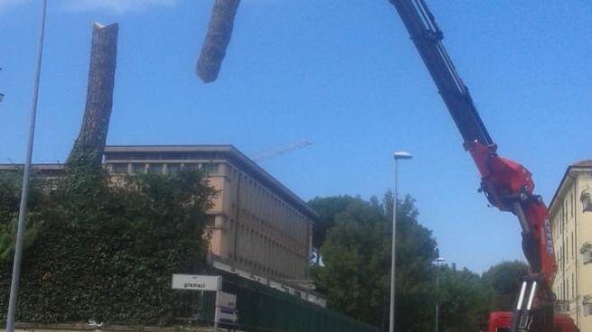 L'abbattimento degli alberi al Carrara