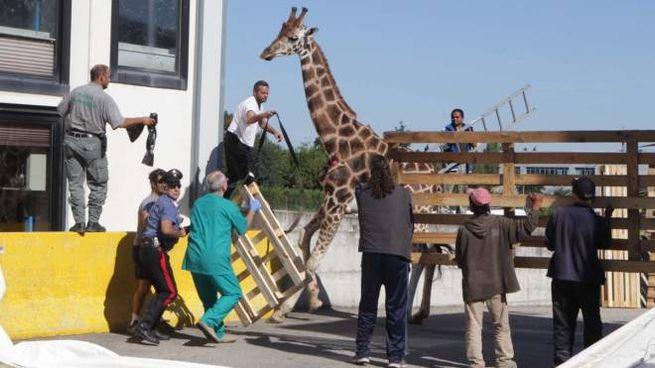 La giraffa (foto Isolapress)